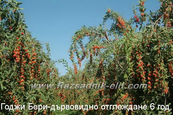 Годжи Бери Плодове goji berry