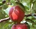 Ябълка Сорт Гала,Apple Gala,Снимки Ябълки,Ябълка,Разсадник Ябълки,фиданки Ябълки,овошки Ябълки,сортове Ябълки,Разсадници Ябълки,