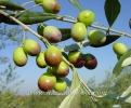 Маслини Овощен Разсадник Елит,olives,Маслини,Маслина,Разсадник Мас�