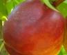 Нектарина сорт Морисиани 90